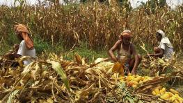 Bihar: Maize Farmers Blame Government for Violating Centre