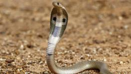 58,000 snakebite deaths occur in India every year
