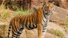 Decline in Tiger Population