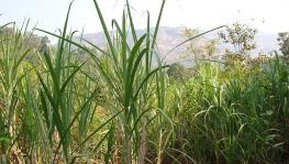 COVID-19 Impact on Sugarcane Production, Maharashtra May Face Labour Scarcity for Harvesting