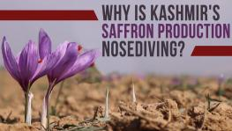 Kashmir's Saffron Fields and Production are Shrinking Fast