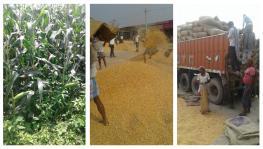 Bihar Elections: Maize Farmers from Koshi-Seemanchal get Less than Cost of Production, no MSP