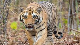 Supreme Court Stays Bus Service through Corbett Tiger Reserve