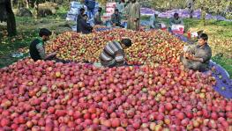 Kashmir: Traders Claim Duty-Free 'Iranian Apples' Causing Heavy Losses, Urge Govt. to Intervene