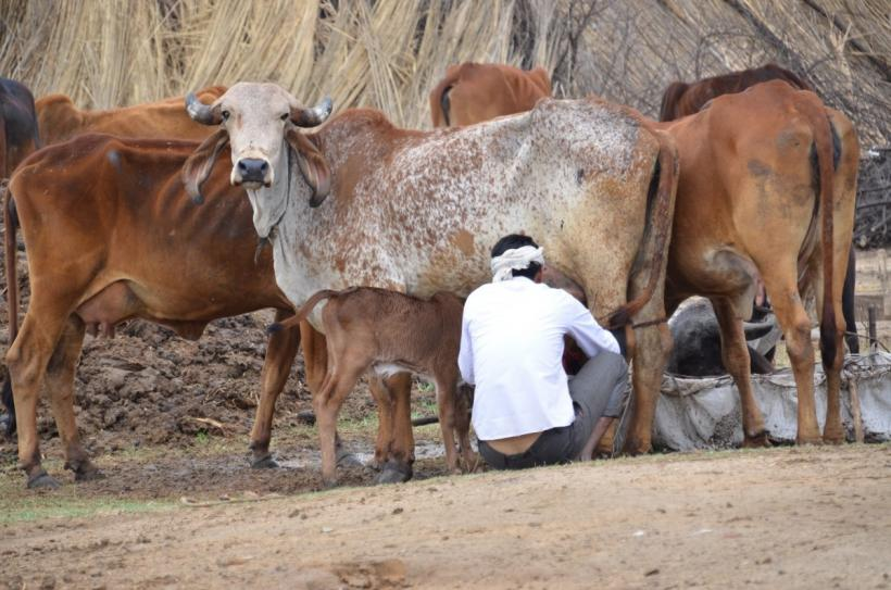 Mameran's Milk Supply Chain Shaken Amid Myriad Problems
