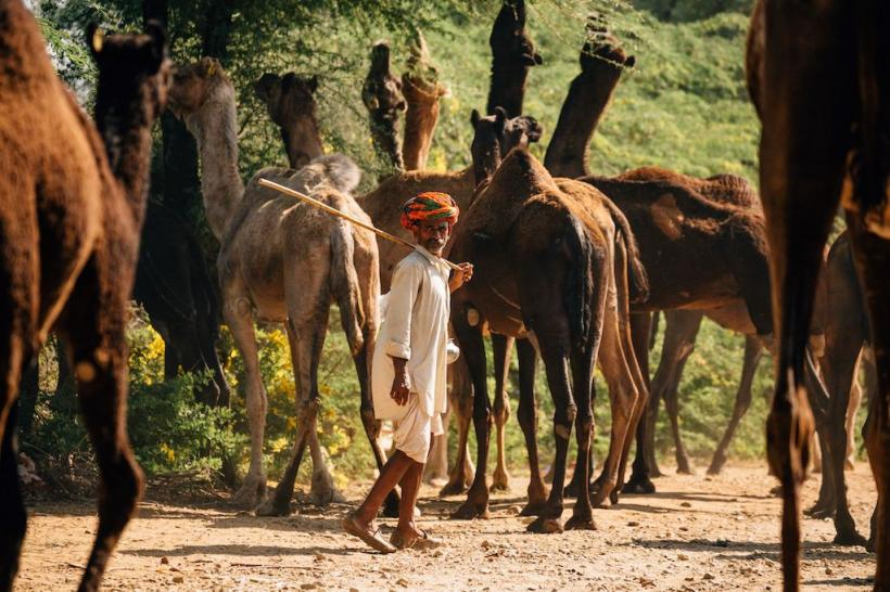 Rajasthan Pastoral Nomads Worry for Animals